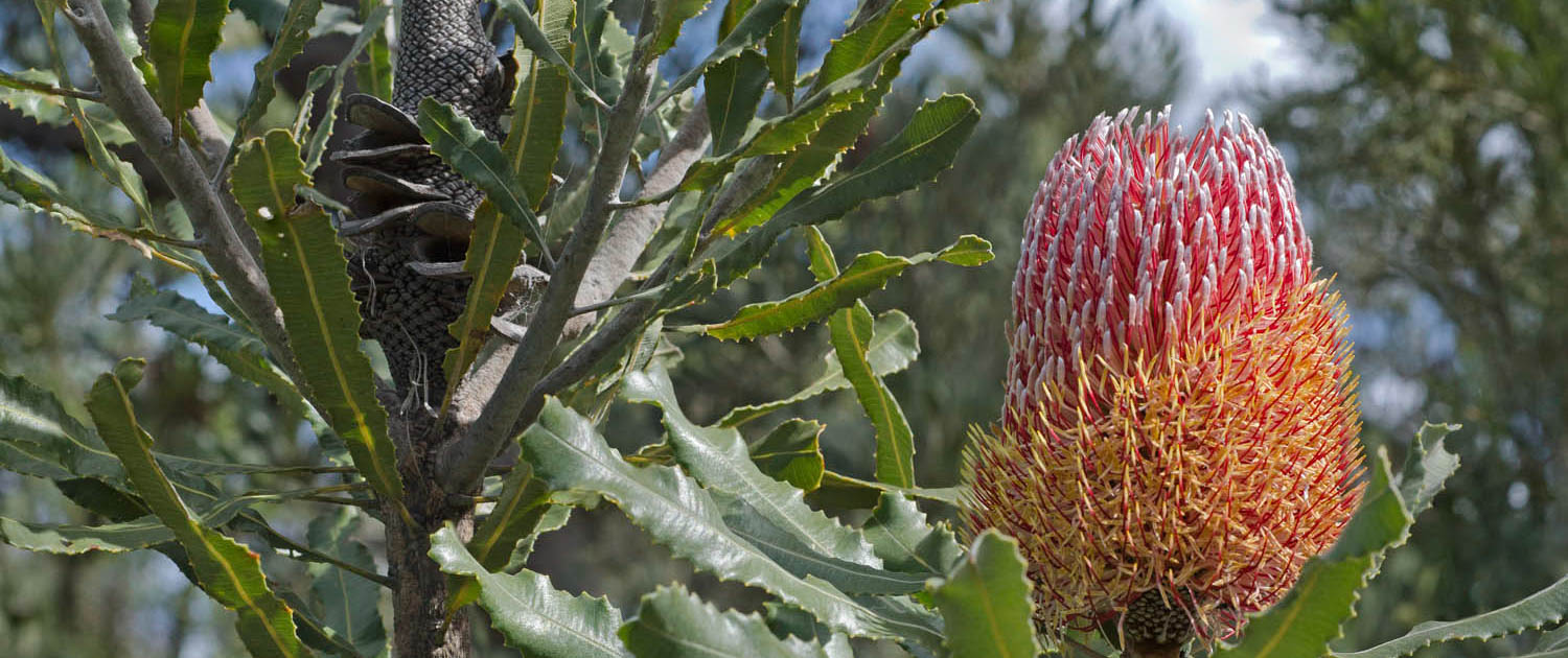 Banksia tree (Banksia menziesii) with flowers and fruit