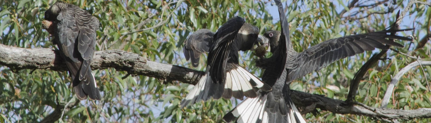 Carnaby's Black Cockatoos Feeding on Banksia Cones