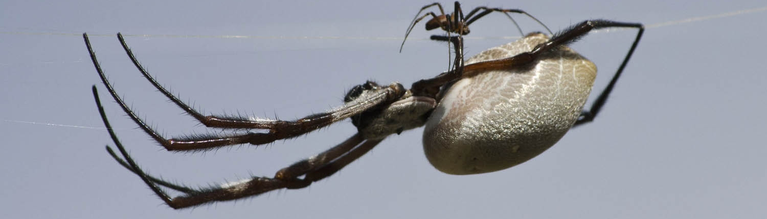 Golden Orb-weaver Spiders (note much smaller male)