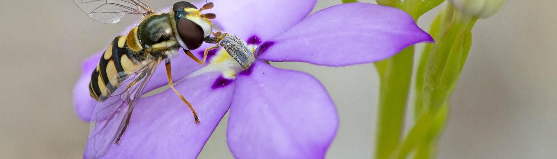 Woodbridge Poison (Isotoma hypocrateriformis) & Hoverfly